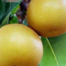 軟兒梨的做法大全,軟兒梨,軟兒梨的做法,家常軟兒梨,軟兒梨怎么做,軟兒梨如何做,家常軟兒梨的做法,軟兒梨視頻,軟兒梨菜譜,家常軟兒梨做法,軟兒梨做法大全,軟兒梨圖解,簡單軟兒梨