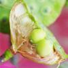 新鲜莲子的手剥小窍门