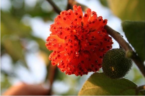 构树花的果实像红灯笼哦!