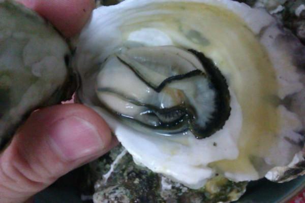 用一个螺丝钉打开壳,就可以看到里面的海蛎啦