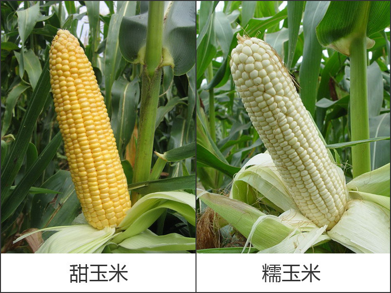 甜糯玉米对比.jpg