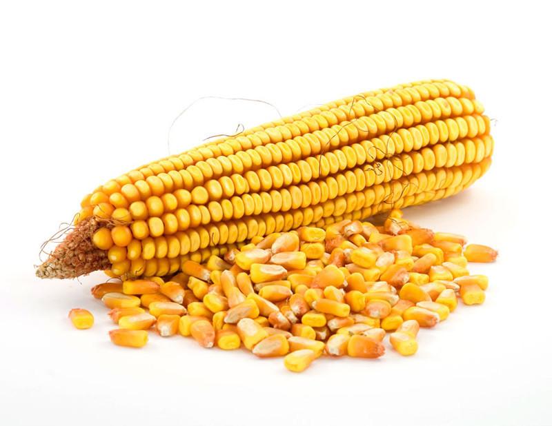 玉米粒.jpg