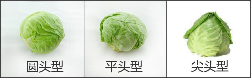 卷心菜对比.jpg