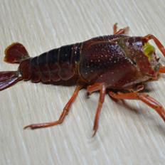 如何清洗修剪小龙虾?