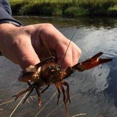 吃货们,苏格兰小龙虾泛滥了!