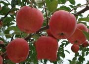 威海苹果.jpg