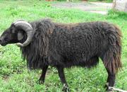 石屏青绵羊.jpg