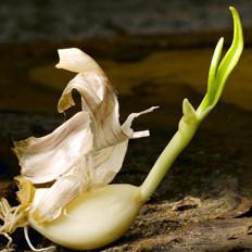 吃发芽大蒜的意外好处